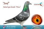 Racing pigeon for sale Josef