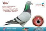 Racing pigeon for sale Ajax