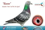 Racing pigeon for sale Boone