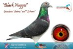 Racing pigeon for sale Black Nugget