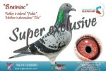 Racing pigeon for sale Brainiac