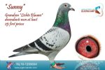 Racing pigeon for sale Sunny