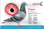 Racing pigeon for sale Enigma