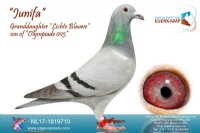 Racing pigeon for sale Junifa
