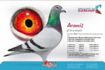 Racing pigeon for sale Aramis