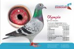 Racing pigeon for sale Olympia