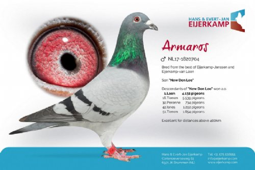 Racing pigeon for sale Armaros