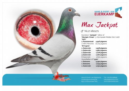 Racing pigeon for sale Max Jackpot