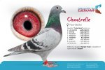 Racing pigeon for sale Chantrelle